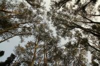 L'Olio Essenziale di Melaleuca (Tea Tree Oil) nel trattamento della Cistite